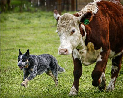 Австралийский хилер за работой. Australian Cattle Dog