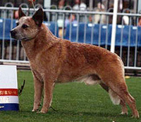 Australian Grandchampion Flagstone King Reddy Teddy